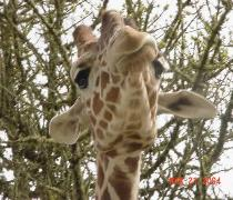 Giraffe - Here's Looking at You, Kid